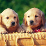 cute small dogs wallpapers