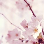 beautiful white flower wallpapers